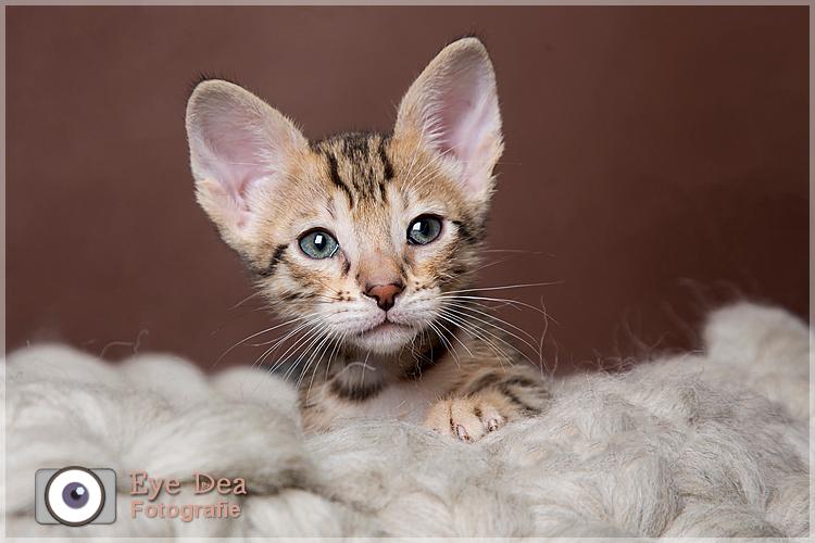 Savannah Kitten 2 - Ze zijn zo schattig