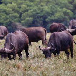 Afrikaanse Buffels