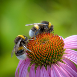 bumblebees Rode zonnehoed echinacea. tZwin