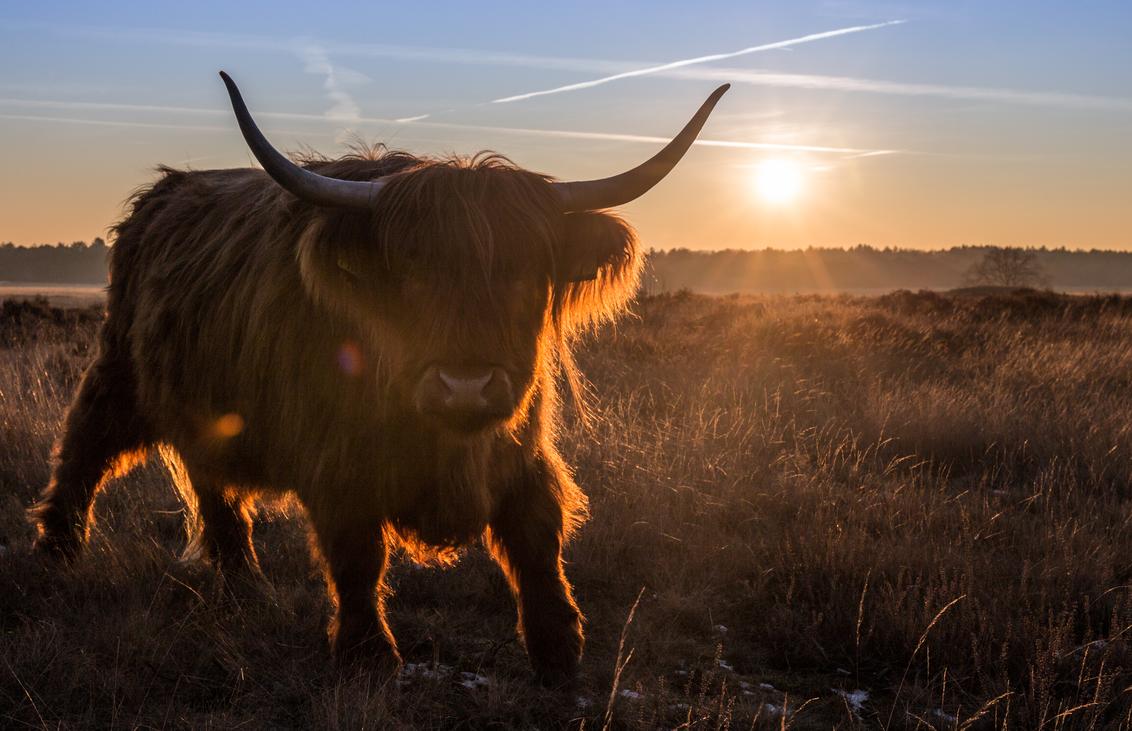 Koe op de Hilversumse hei