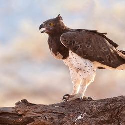 Martial Eagle 4, Kenia