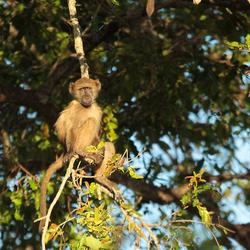 Krugerpark-aapje in ochtendzonnetje
