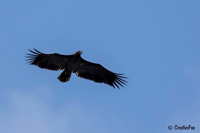 Oostvaardersplassen - Soms zie je hem nooit en dan opeens vliegt hij niet al te hoog over je heen, een zeearend. Een fantastische ervaring.
