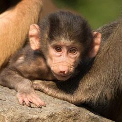 Baby Mantelbaviaan