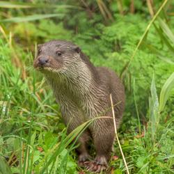Otter. ( Dick )