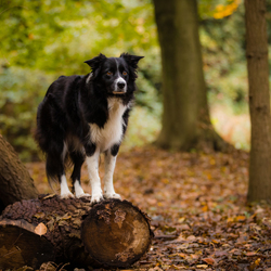 Border collie Fenna in het bos
