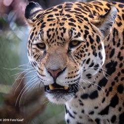 Jaguar in Artis