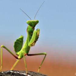 Mantis.....