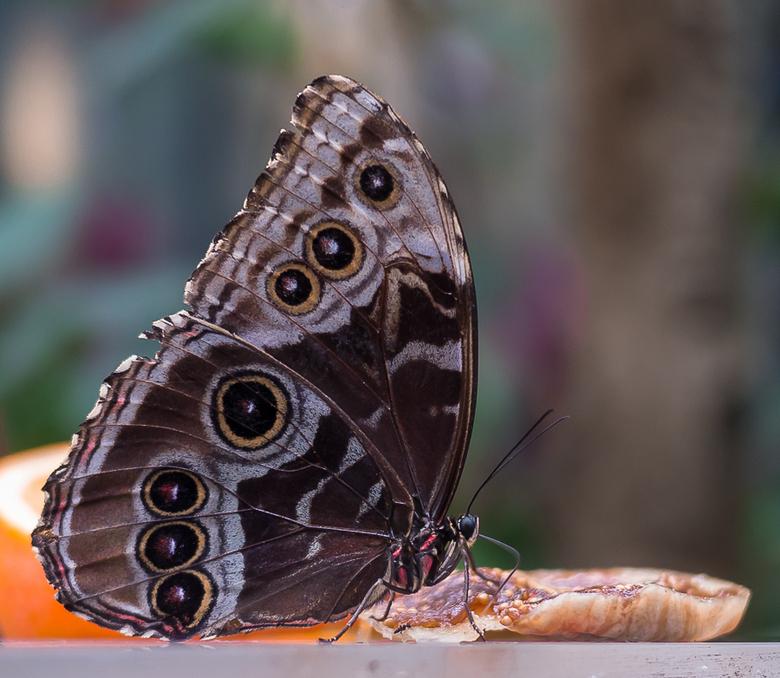 Azuurvlinder (Morpho peleides) - Gisteren gemaakt in de vlindertuin van Artis op een supergezellige dag, met dank aan lieve medezoomertjes die dit heb