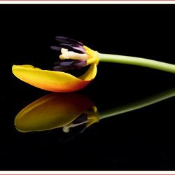 Tulp even anders