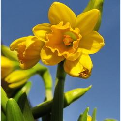 Narcissen in bloei
