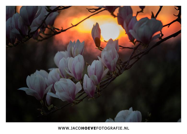 Magnolia - Magnolia in de avondzon.