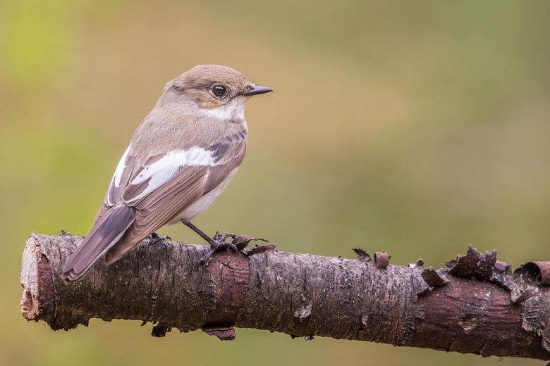 bonte vliegenvanger - Bonte vliegenvanger (vrouw) <br /> voor het eerst kunnen fotograferen afgelopen week.