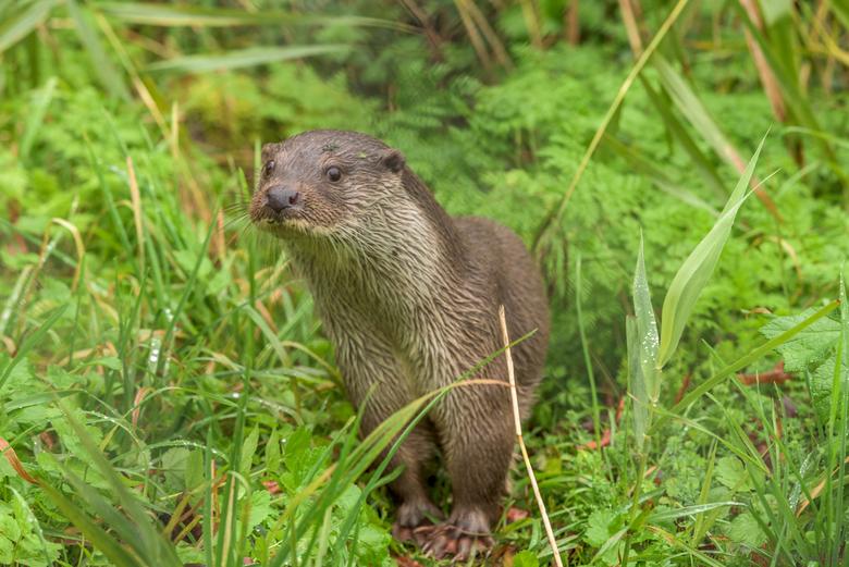 Otter. ( Dick ) - Dick, een otter in het Natuurpark Lelystad. De foto is door een omheining genomen. Als je goed kijkt kan je het nog zien.