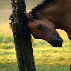 Krabpaal voor paarden