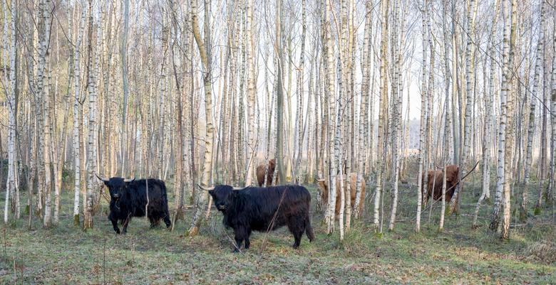 koeien in het bos - De witte stammen van de berken steken mooi af tegen de koeien die hier wat beschutting vinden.