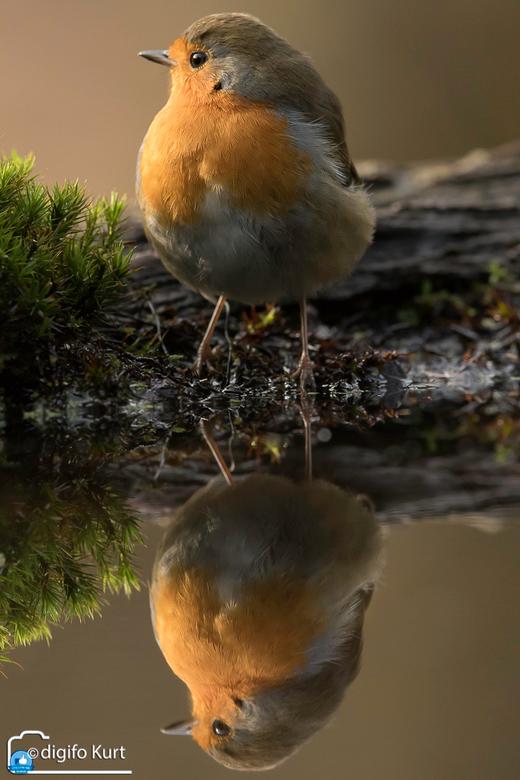 spiegeling - roodborst met spiegelbeeld