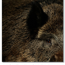They eye of a boar
