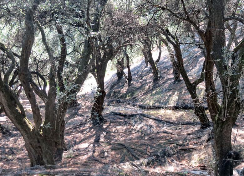 olijfboomgaard - september 2015 Corfu<br /> De netten liggen al onder de bomen.Olijfbomen ze blijven me fascineren,vaak zo oud en prachtige grillige