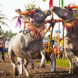 Buffelrace in het westen van Bali
