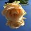 Roosje voor iedereen