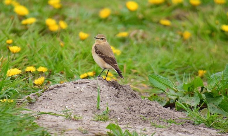 Tapuitvrouw op.. - Tapuitvrouw op zandheuveltje op de uitkijk naar insecten. Tapuiten leven vooral op de grond en zoeken daar hun voedsel. Ze broeden