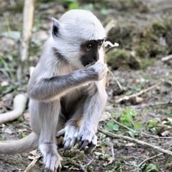 Hanuman langoer