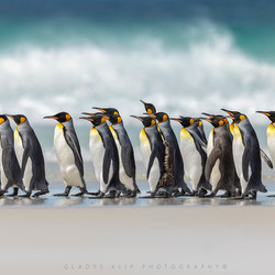 King Penguin parade!