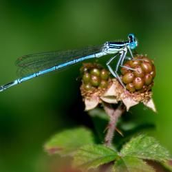 Libelle in De Doort