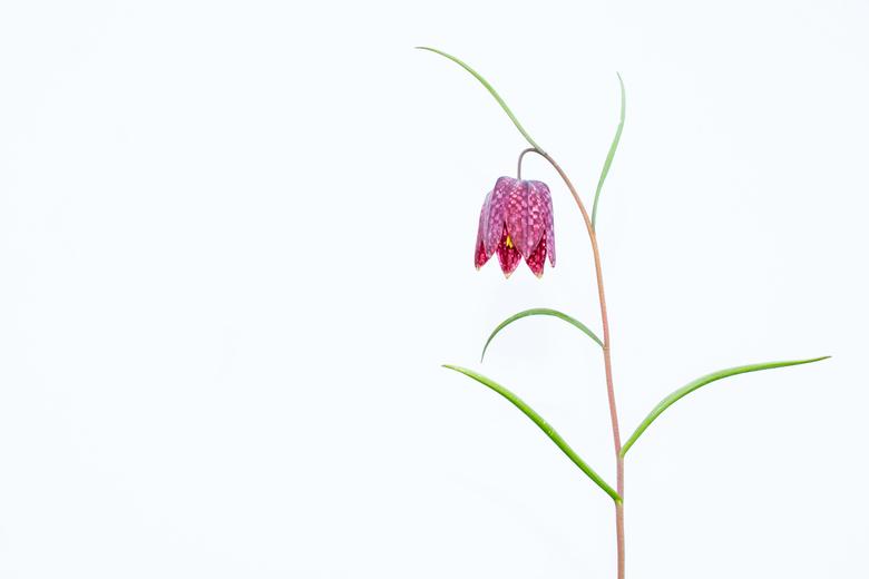 Simplicity - Al vele kievietsbloemen voorbij zien komen in verschillende mooie settings. Hier wil ik toch een andere kijk geven op deze misschien wel
