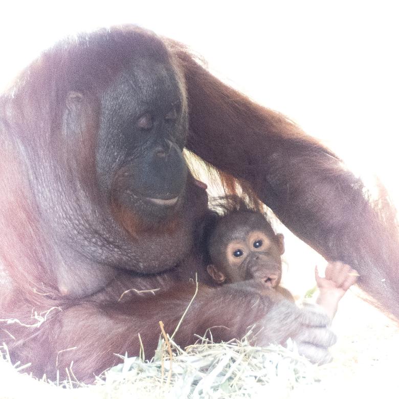 veilig in moeders armen - gister naar Ouwehands Dierenpark geweest. Met deze foto&#039;s was ik wel blij. <br /> Zo&#039;n lieflijk tafereel moeder m