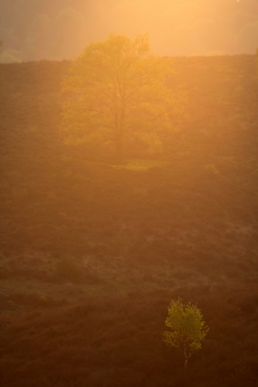 twee bomen, avondzon - twee bomen, een kleine en een grote, in de avondzon op de Posbank. De heiigie sfeer en de gloed wordt veroorzaakt door de zon,