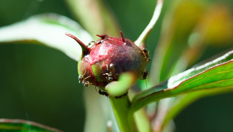 pioenknop met mieren - eerste probeersel met de macrolens.