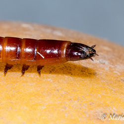 Ritnaalden of koperwormen (Agriotes spp.)