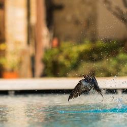 Boerenzwaluw zoekt verkoeling in het zwembad