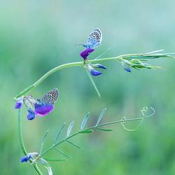 heideblauwtjes man en vrouw op paarse bloemen Zoom