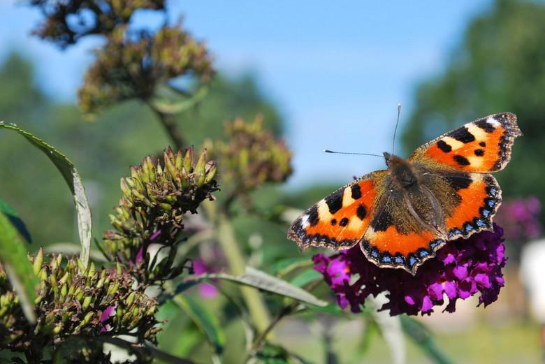Vlinder op de vlinderstruik - Bij ons in de tuin!
