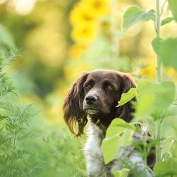 Tussen de zonnebloemen
