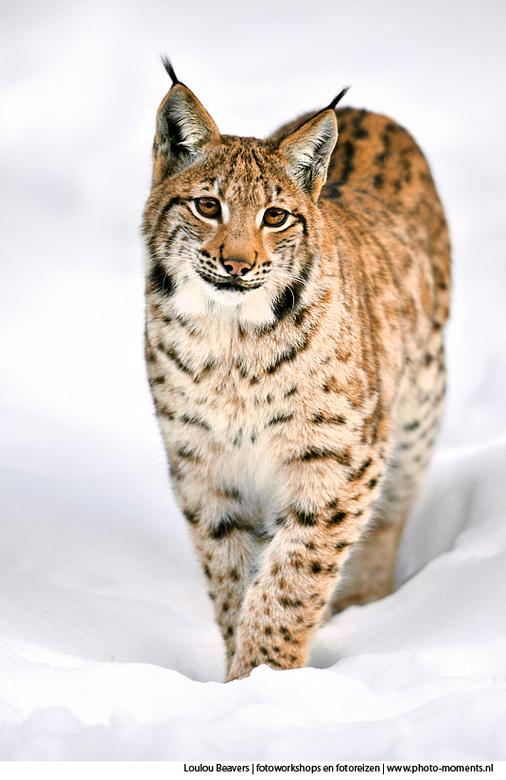 Lynx - Mijn favoriete lynx in het Beierse woud is zonder meer deze. Op de foto bijna een jaar oud, iets fijner kopje dan de andere lynxen daar en deze