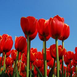 Bollenveld tulpen