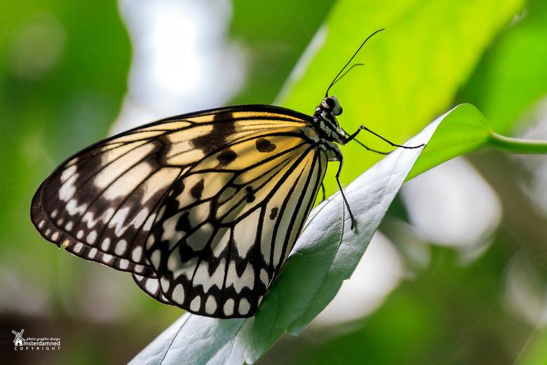 Vlinders aan de Vliet - De papiervlinder (Idea leuconoe) bij Vlinders aan de Vliet in Leidschendam.