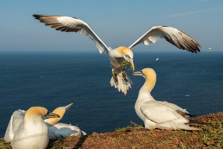 Alles voor het vrouwtje - Jan van Gent brengt nestmateriaal bij het vrouwtje. Zie die verliefde blik als hij aankomt vliegen.