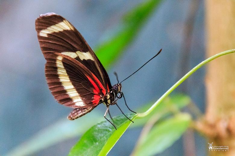 Vlinders aan de Vliet - De Helconius erato is een vlinder, die voorkomt van het zuiden van Brazilië en de Amazonebekken tot in Mexico.