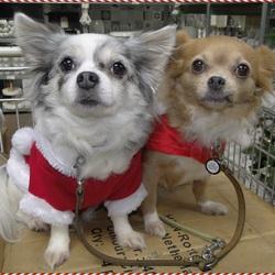 Mijn Chihuahua's Lisa & Vicky in kerststijl aangekleed.