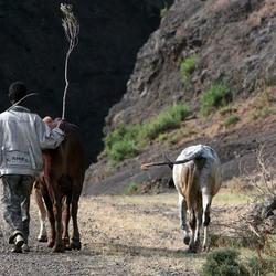 koeiendrijver