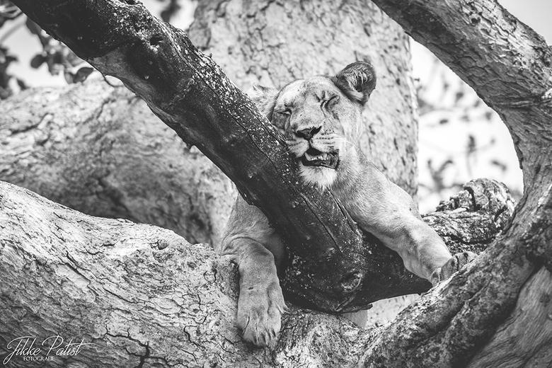 The Lion Sleeps Tonight - Deze prachtige leeuwin zat in de boom lekker een middagdutje te doen om af te koelen. Zo zie je zelfs de koningin van de jun