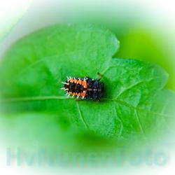 130627 Ladybug achtertuin-1