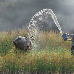Buffalo Bathing