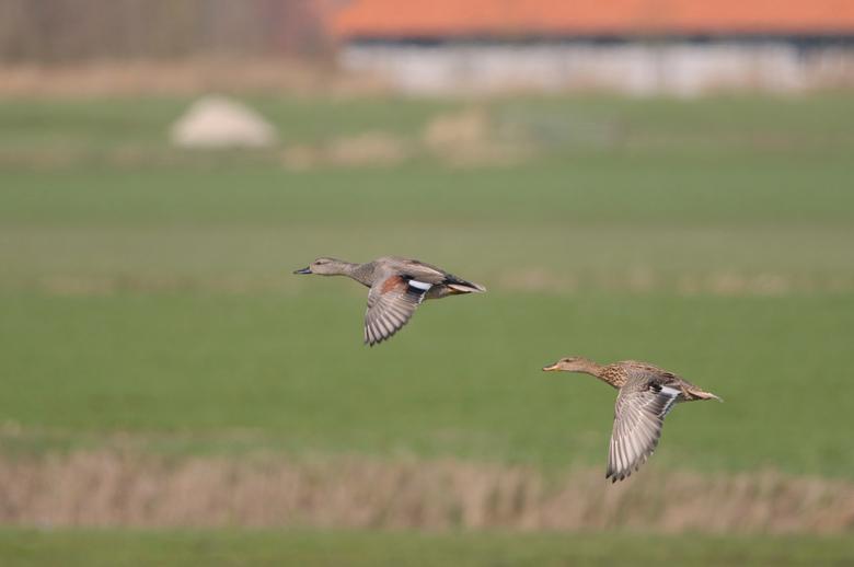 Krakeenden in vlucht - Dit paartje krakeenden kwam op hun gemakje langsgevlogen. Gelukkig zat ik met de camera klaar. Bewust de uitsnede zo gehouden d
