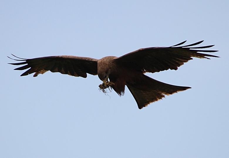 Kite with prey (an egg)